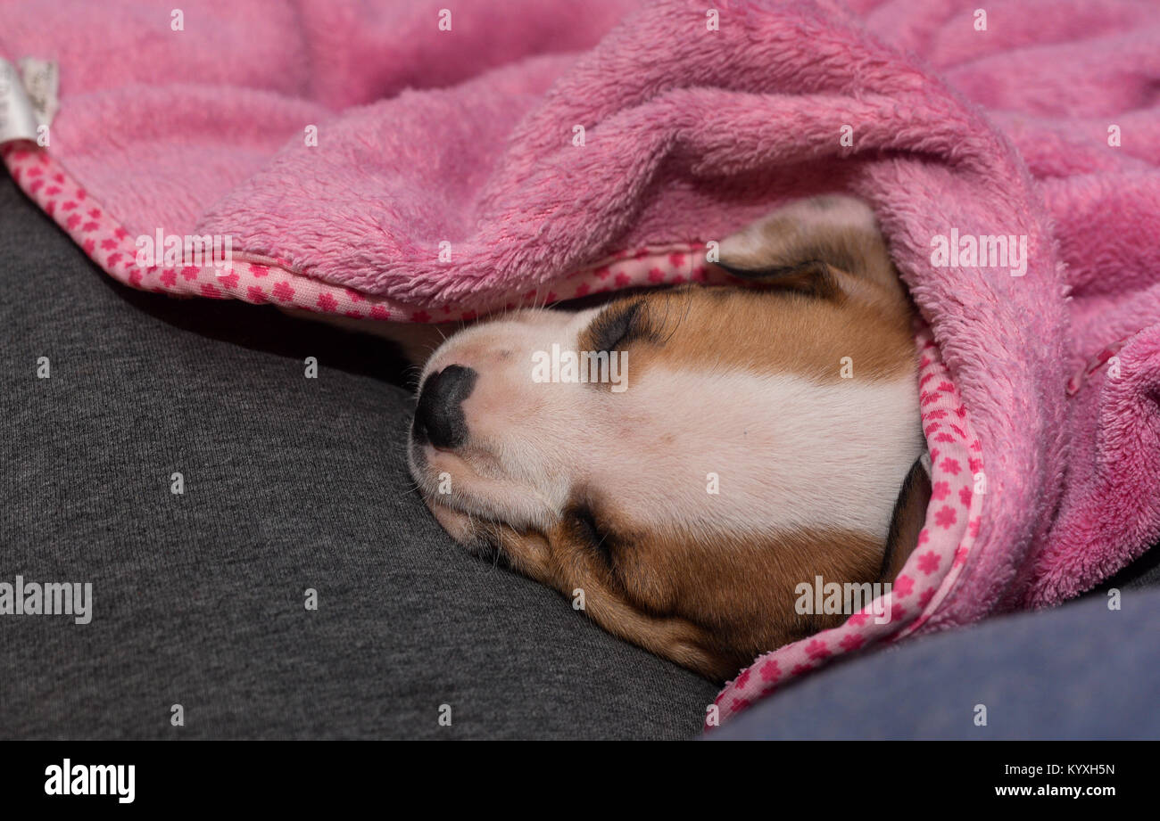 A 6-week old beagle puppy sleeps in a pink blanket on a couch. - Stock Image