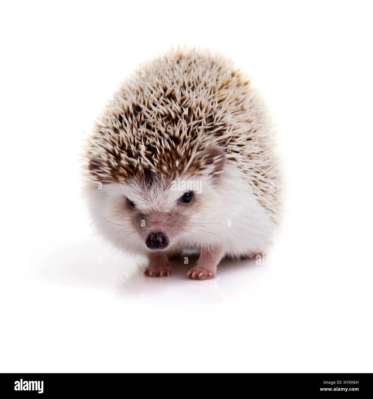 Little prickly hedgehog looking forward on white background. - Stock Image