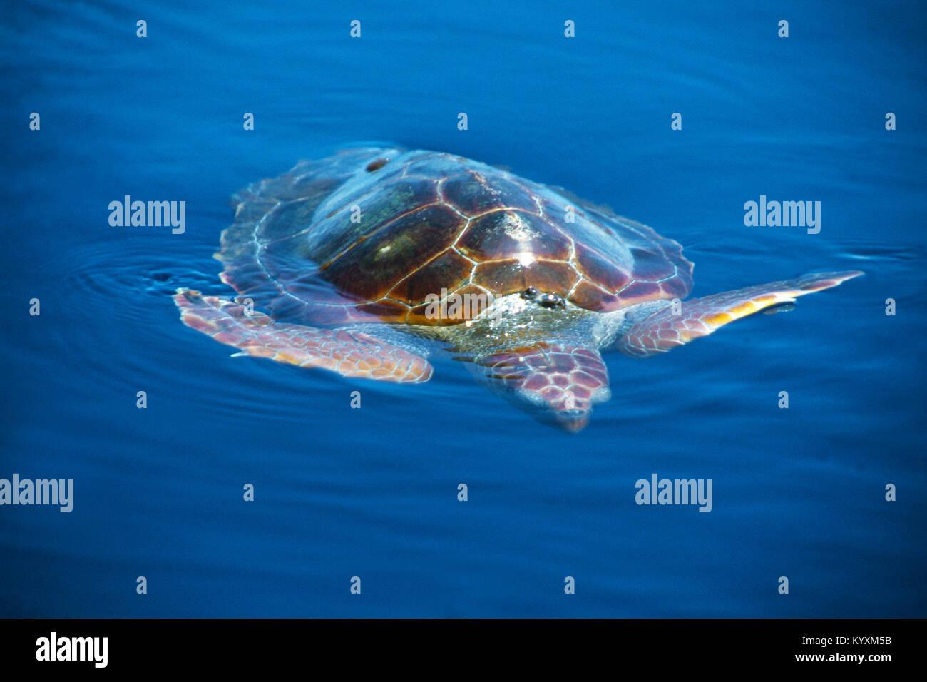 Loggerhead seaturtle (Caretta caretta) on surface at open sea, Acores, Portugal, Atlantic ocean Stock Photo