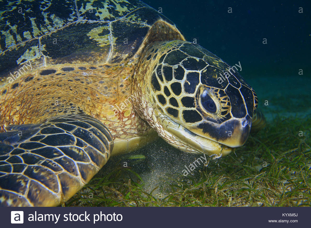 Green sea turtle (Chelonia mydas) feeding on sea grass, Sabang beach, Mindoro island, Philippines, Asia - Stock Image