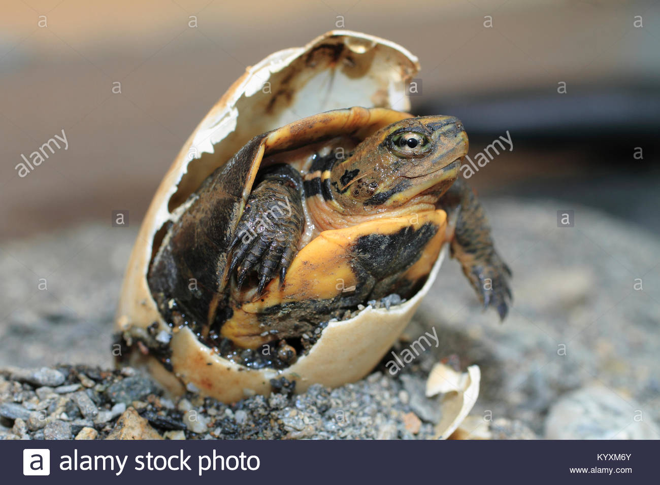 Hatching Green seaturtle (Chelonia mydas), Puerto Galera, Mindoro, Philippines, Asia - Stock Image
