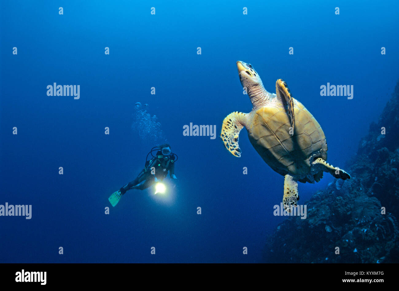 Scuba diver and Hawksbill turtle (Eretmochelys imbricata), Cozumel island, Yucatan, Mexico, Carribean - Stock Image