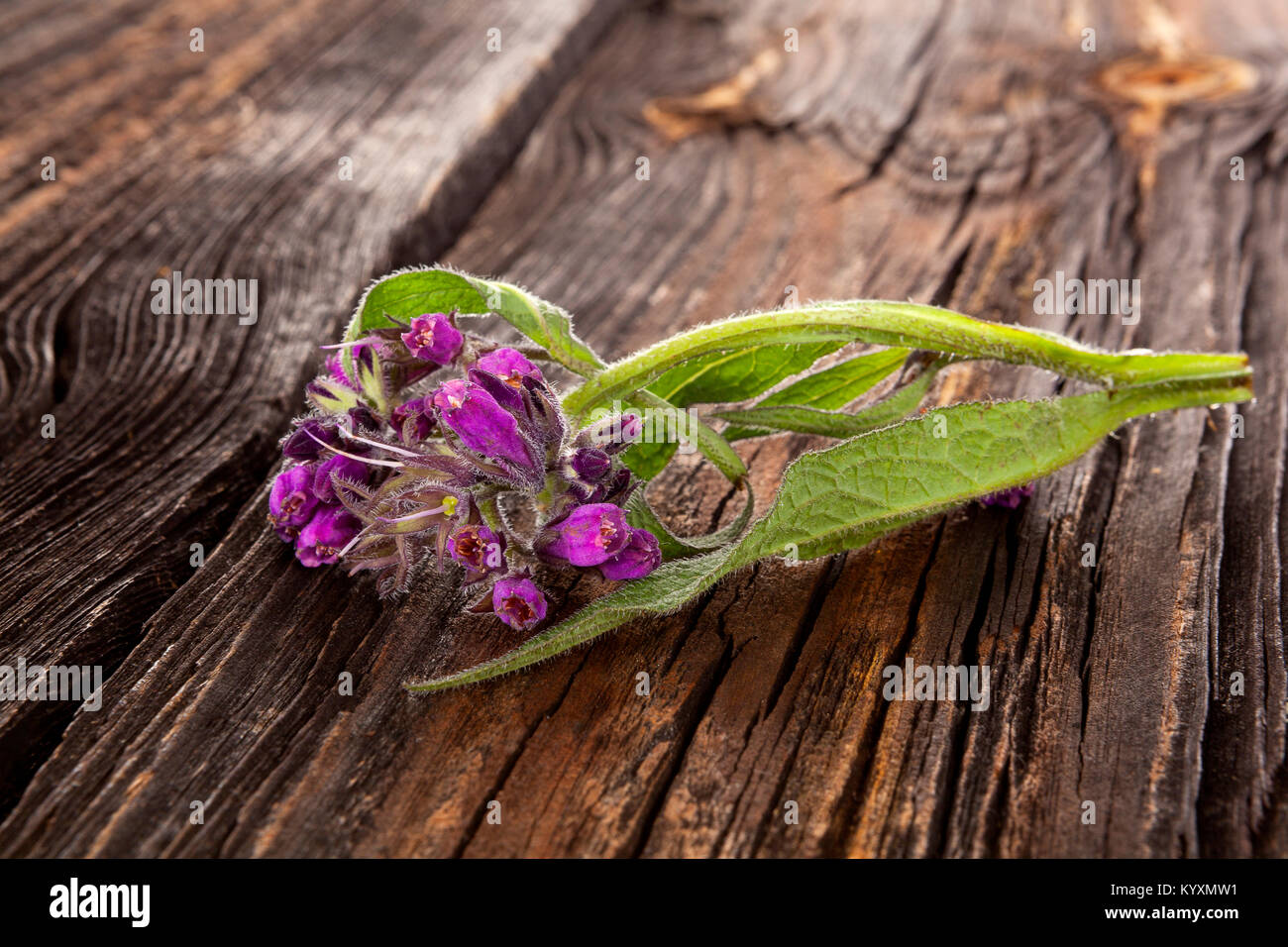 Comfrey flower with hairy leaves and purple nodding flowers on wooden table. - Stock Image