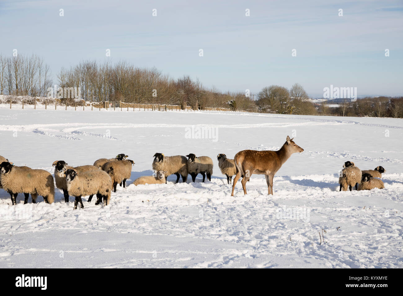 White sheep and deer in snow covered field, Broadway, The Cotswolds, Worcestershire, England, United Kingdom, Europe - Stock Image