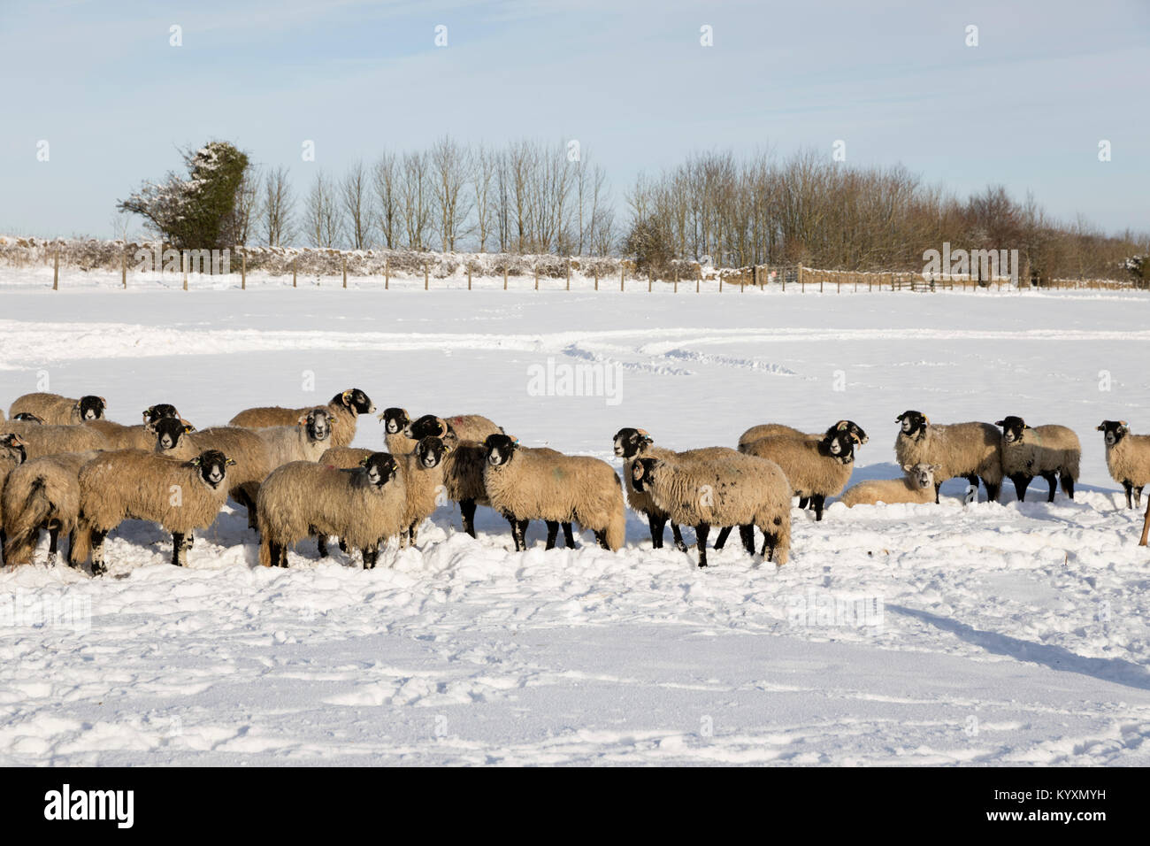 White sheep in snow covered field, Broadway, The Cotswolds, Worcestershire, England, United Kingdom, Europe - Stock Image