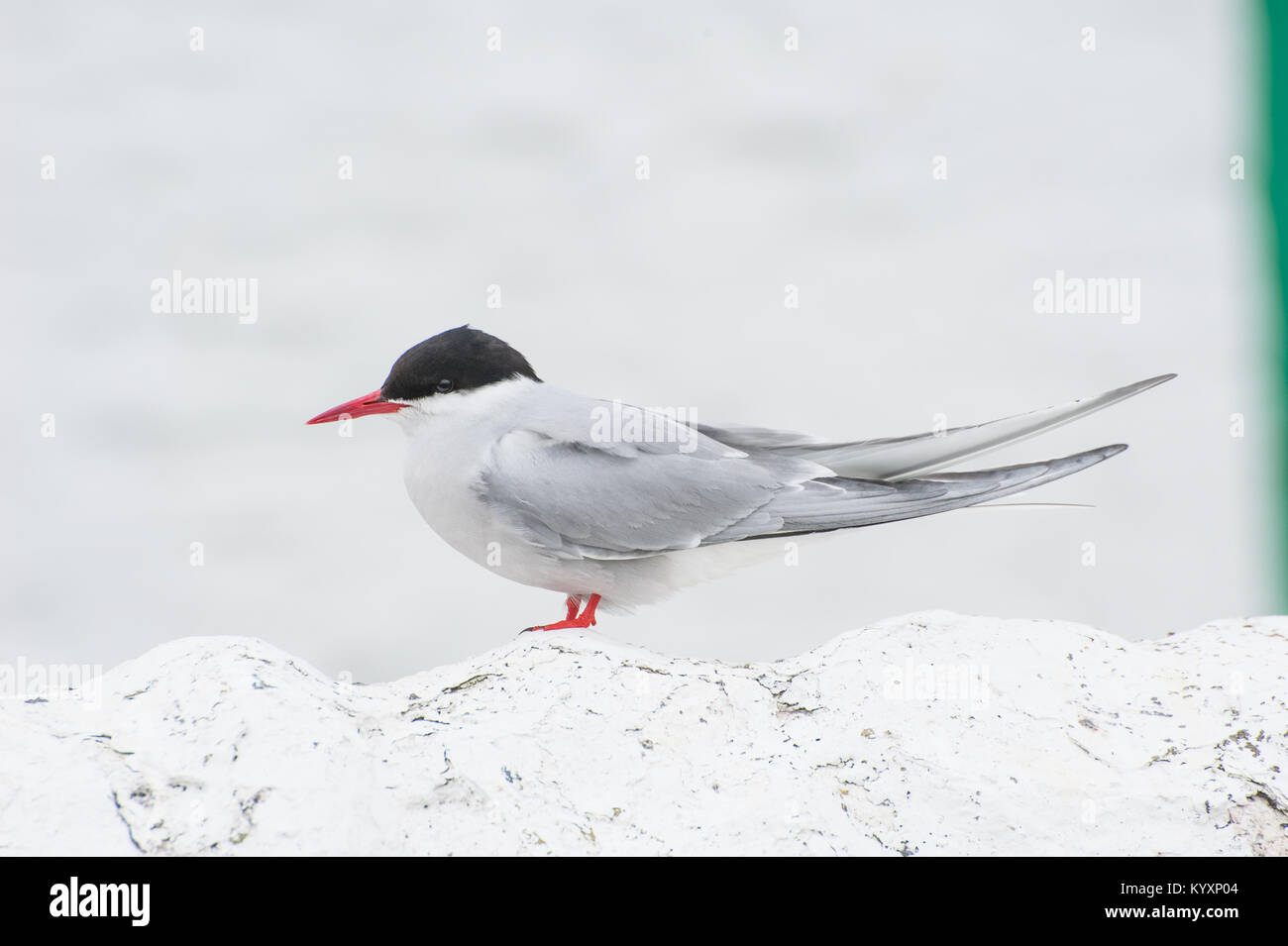 Arctic Terns (Sterna paradisaea) on the Farne Islands in Northumberland at breeding time return to their nests with - Stock Image