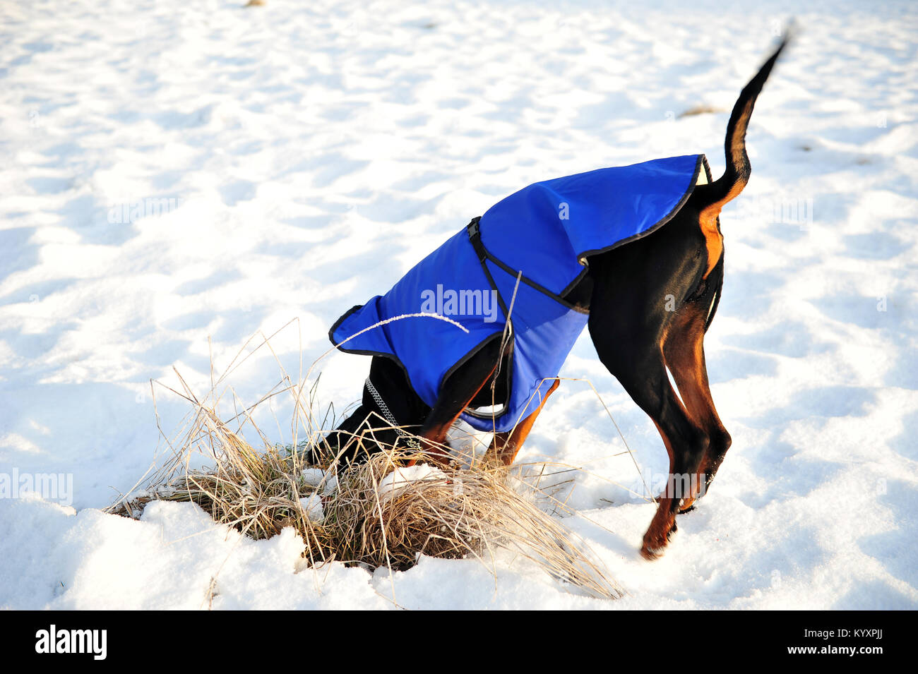 Black doberman dog digging in the snow and grass with his long tail in the air.  Head covered.  The dog is wearing - Stock Image