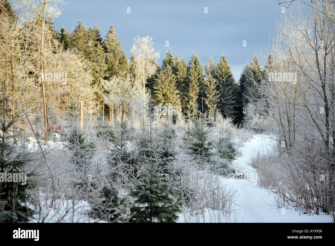 Natural forest with Christmas trees on sunny winter day. Frost covered spruces. - Stock Image