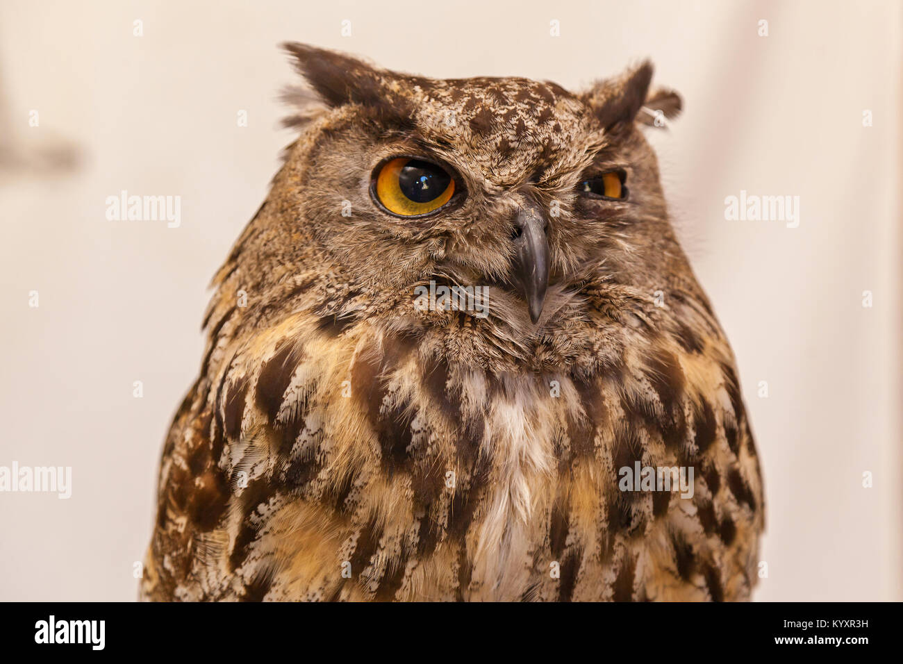 Owl in the white background. - Stock Image