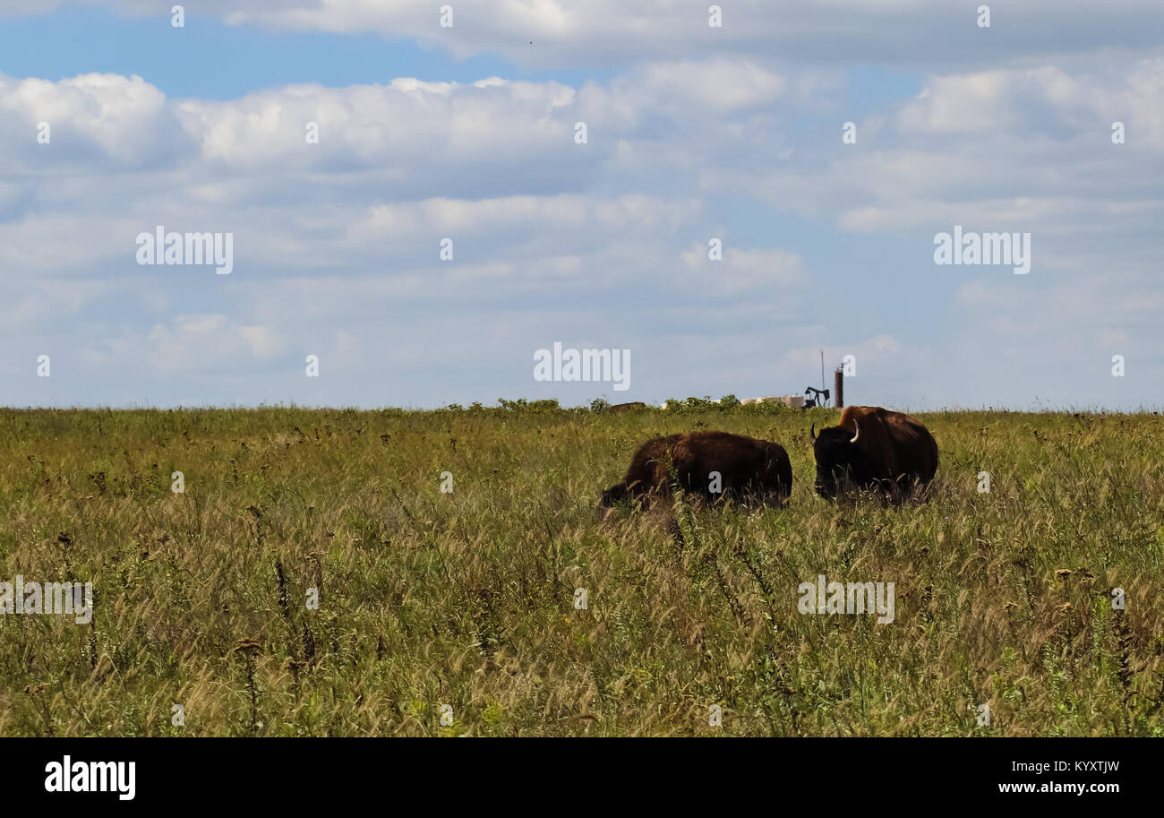 Bull bison sneaking up on a female on the tall grass prarie with oil well pump jack on the horizon Stock Photo