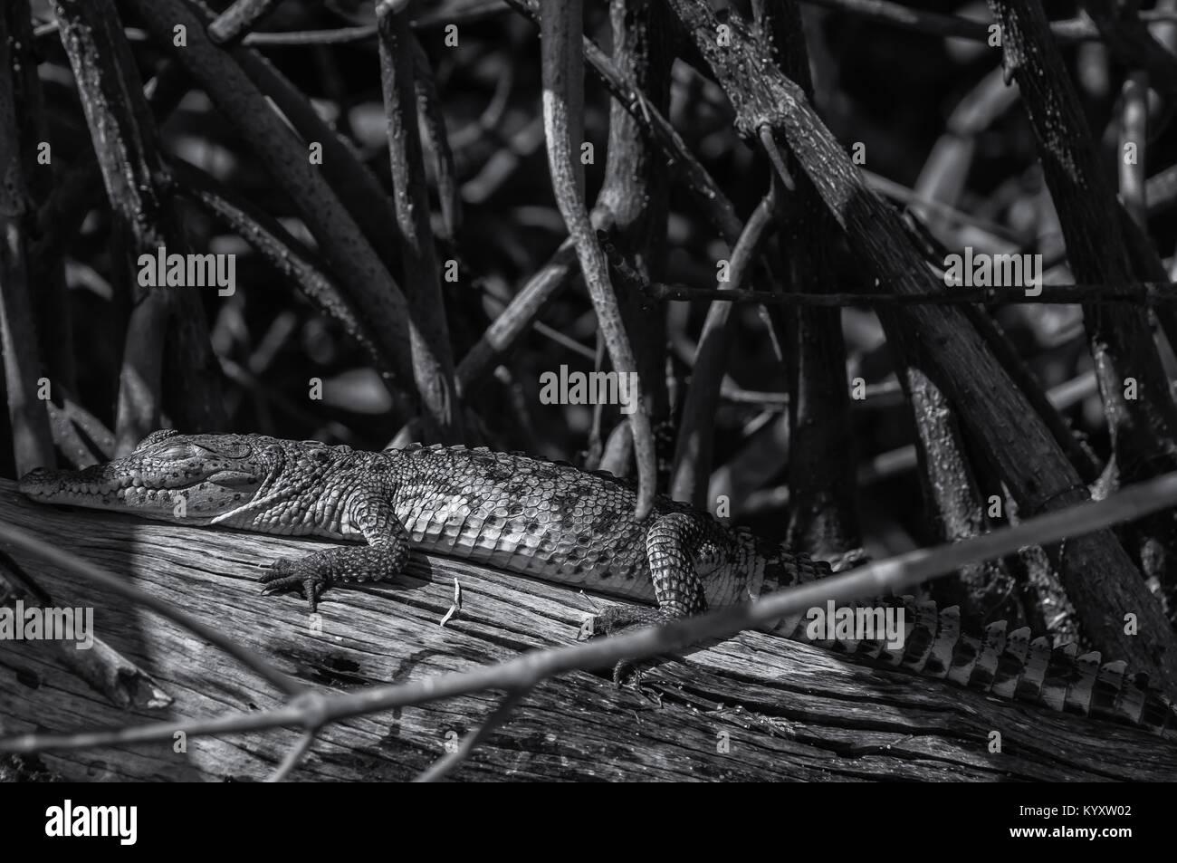 Baby crocodile sunbathing - Stock Image