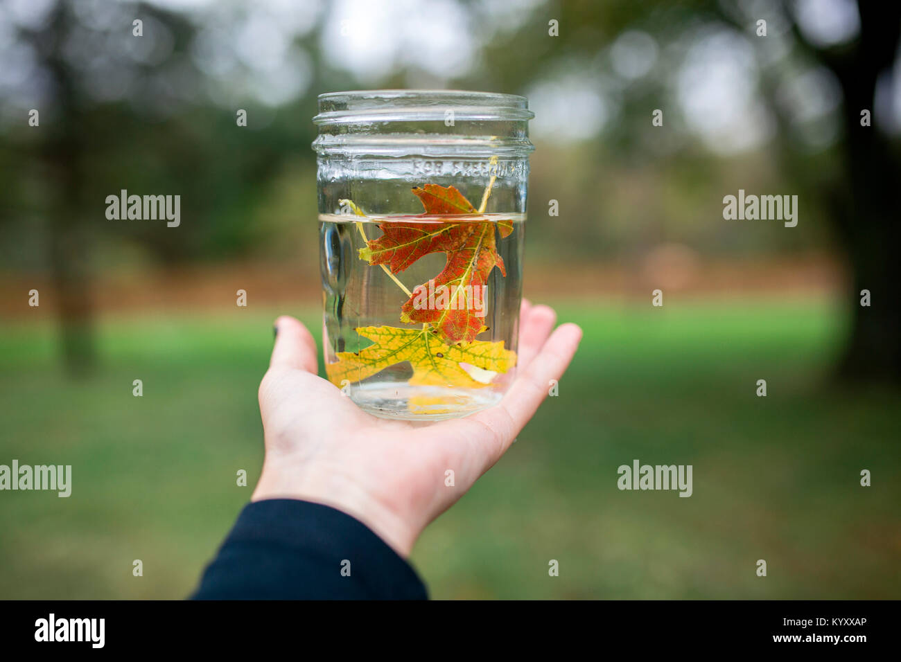 Cropped hand of boy holding maple leaves in water filled jar at backyard - Stock Image