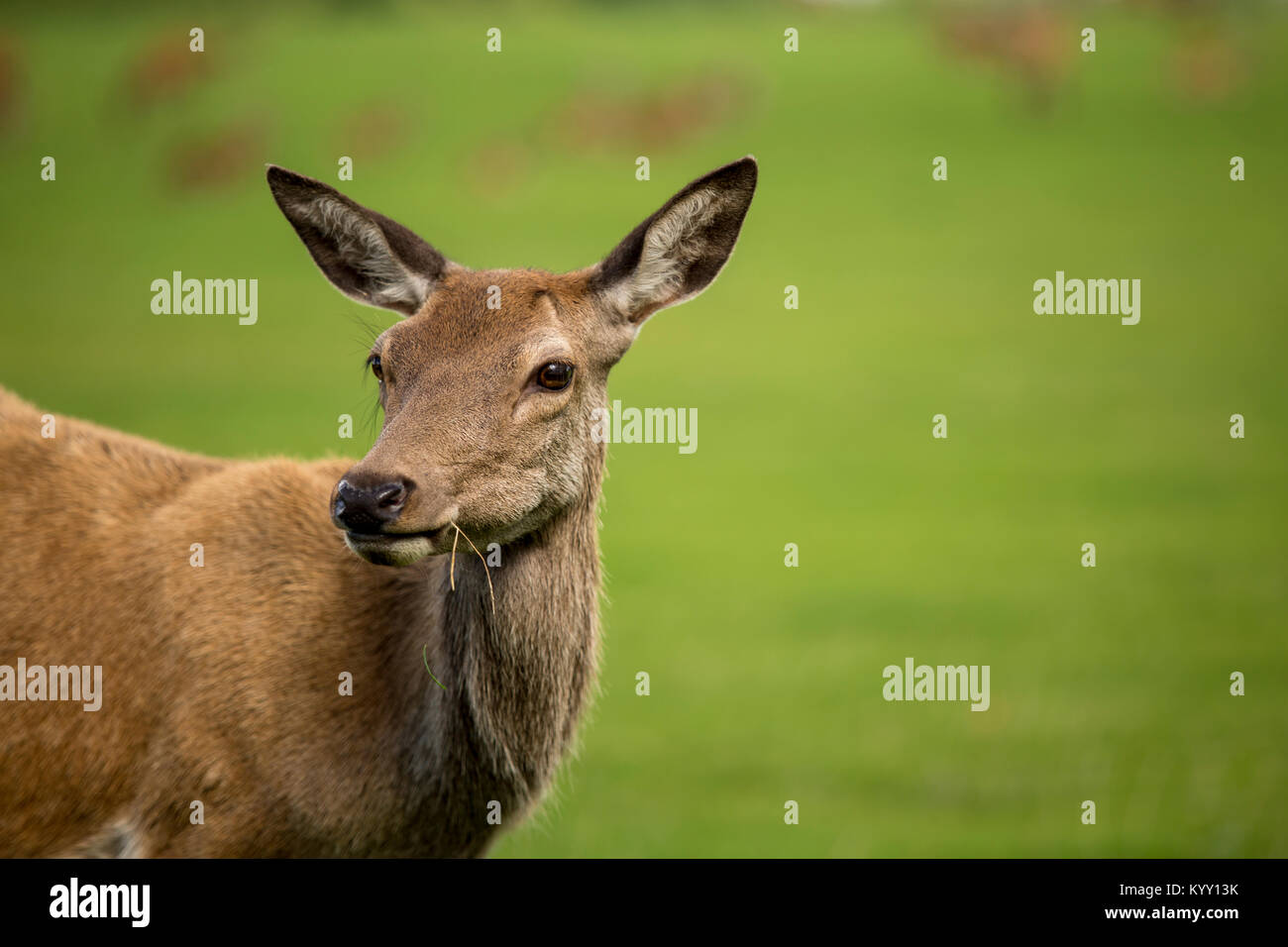 Close-up of deer at field - Stock Image