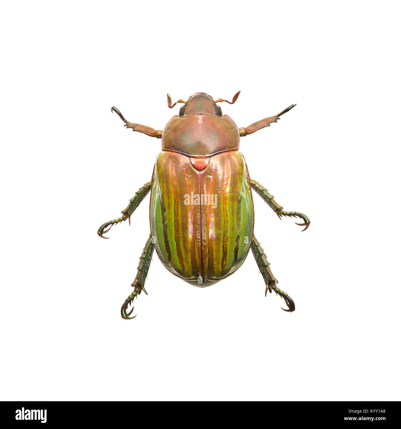 Close-up of beetle over white background - Stock Image