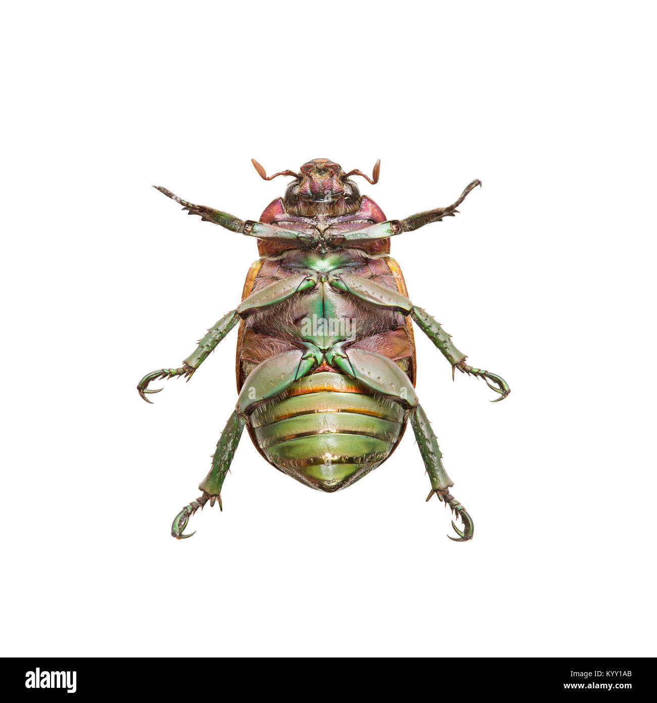 Close-up of upside down beetle over white background - Stock Image