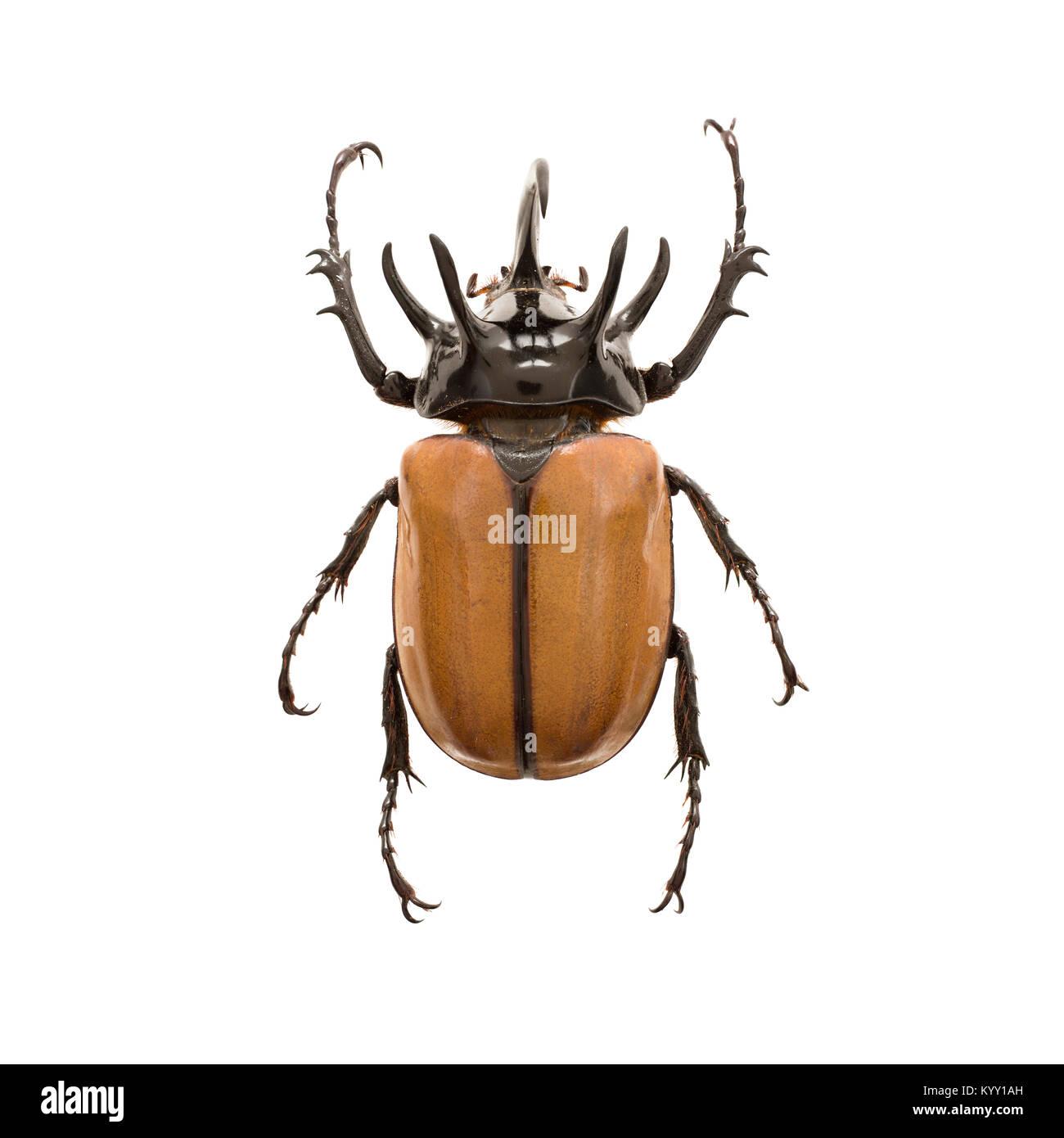 Beetle over white background - Stock Image