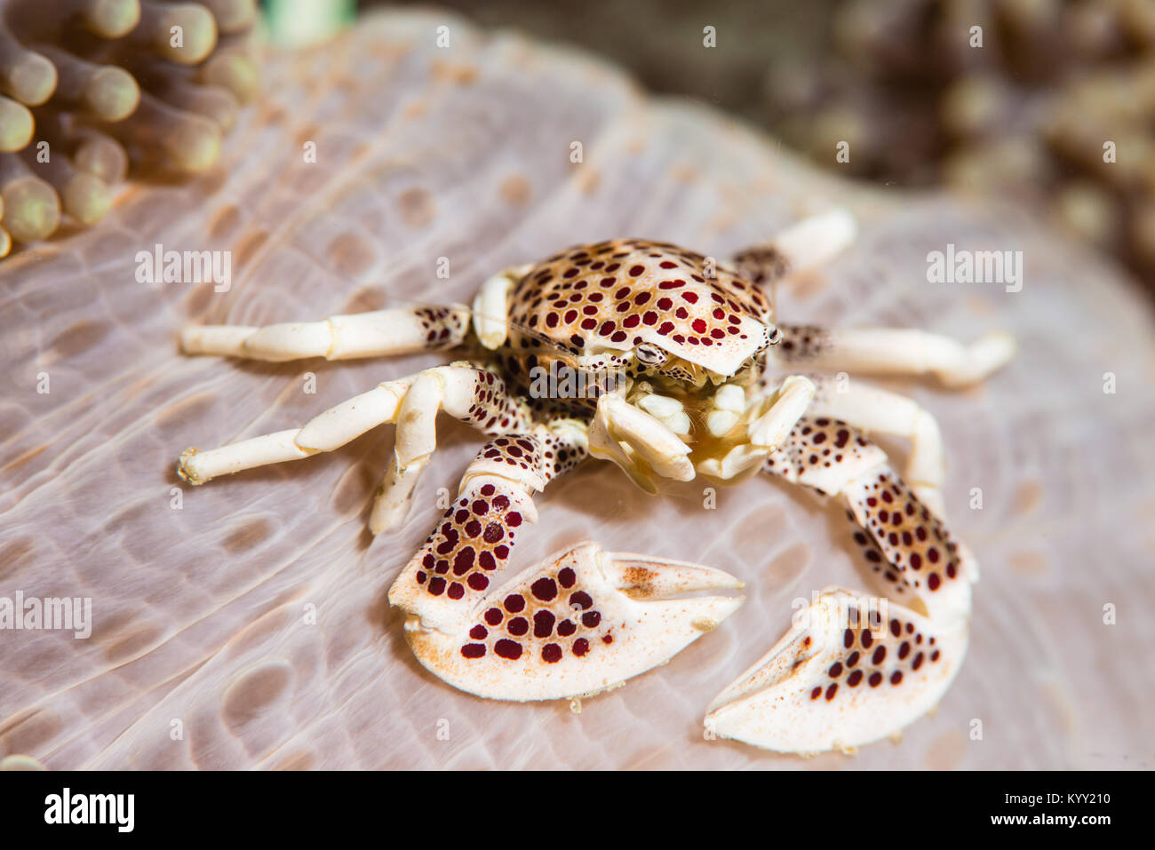 Porcelain crab leaving in the anemone where it hides for safety and in exchange protect the host from parasite resulting - Stock Image