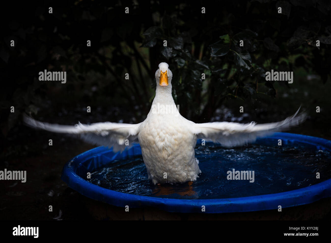 White duck flapping wings in wading pool - Stock Image