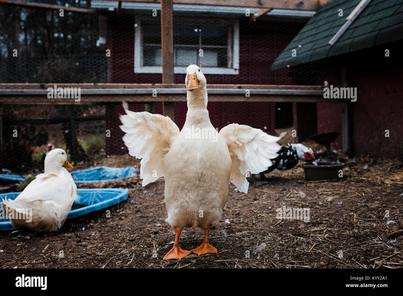 Ducks at poultry farm - Stock Image
