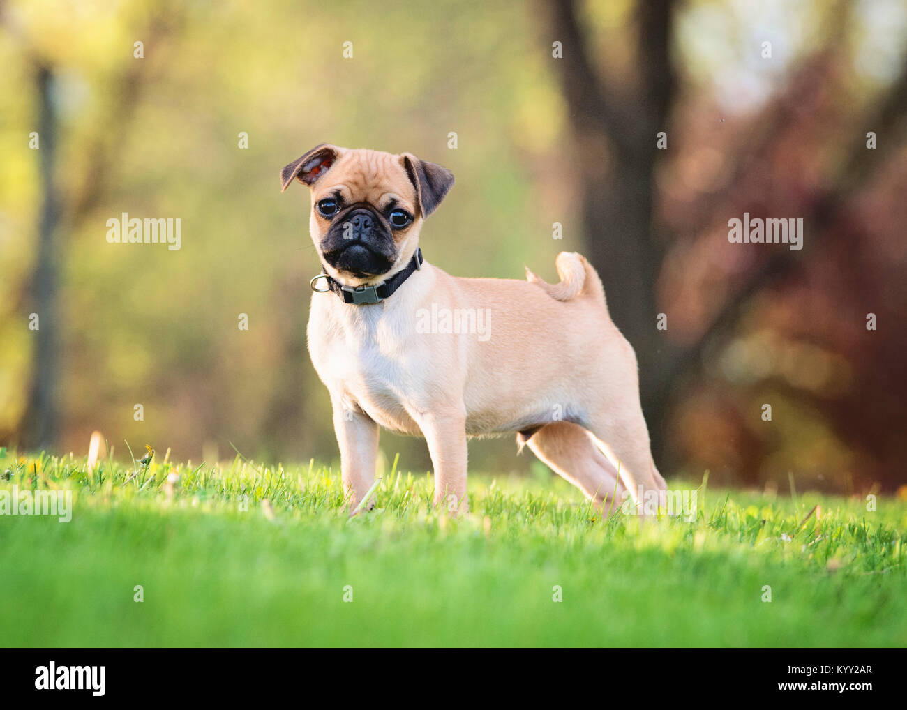 Portrait of pug standing on grassy field at park - Stock Image