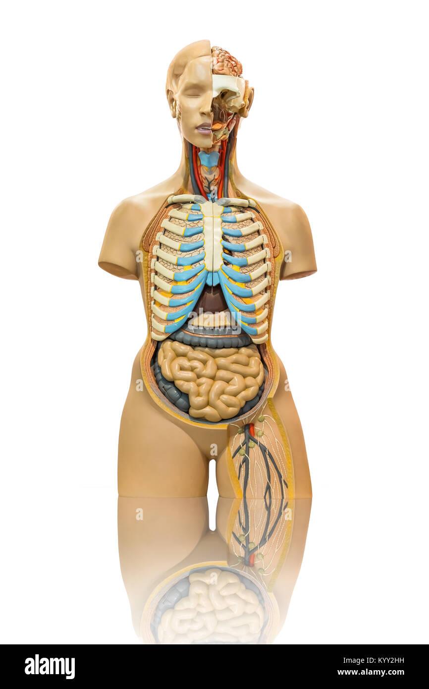 Isolated male anatomy model on white Stock Photo: 172083789 - Alamy