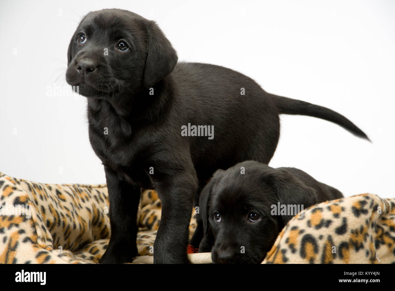 Two obedient young black labrador puppies watching - Stock Image