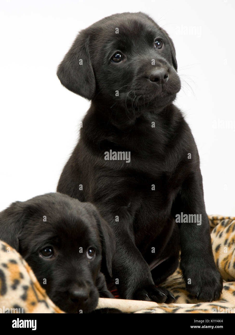 Two obedient young black labrador puppies on their bed waiting obediently - Stock Image