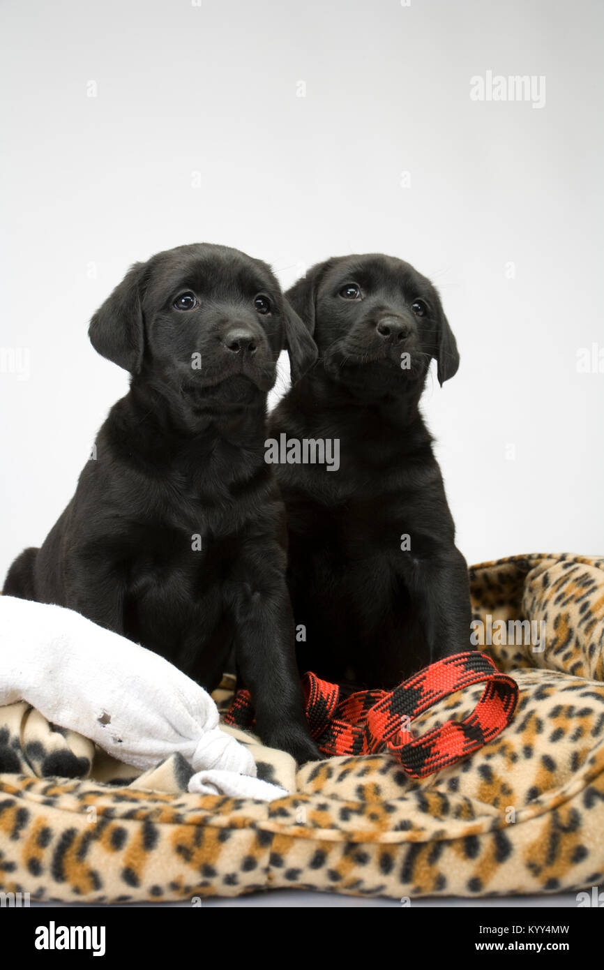 Two cute black labrador puppies obediently posing on their dog bed - Stock Image