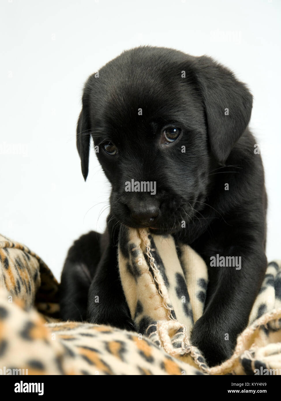 Cute Young Black Labrador Puppy Chewing On A Blanket Looking At The Stock Photo Alamy
