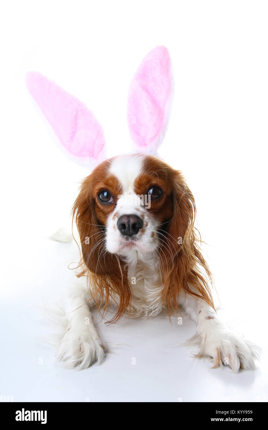 Easter bunny dog. Dog puppy with rabbit ears. Celebrate easter with cute cavalier king charles spaniel photo. Dog - Stock Image