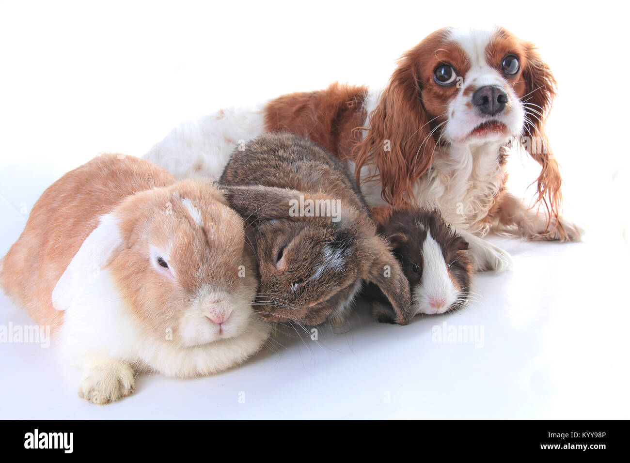 Animals together. Real pet friends. Rabbit dog guinea pig animal friendship. Pets loves each other. Cute lovely Stock Photo