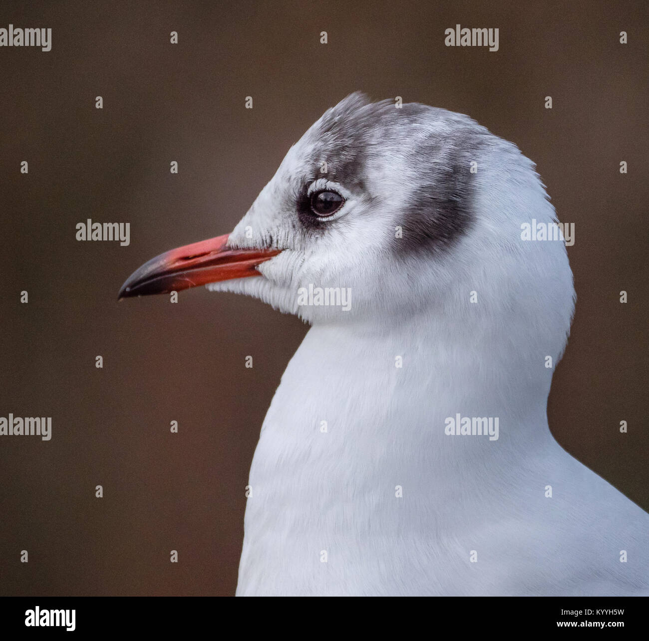 Close-up head and shoulders portrait of a black headed gull Croicocephalus ridibundus in winter plumage without - Stock Image