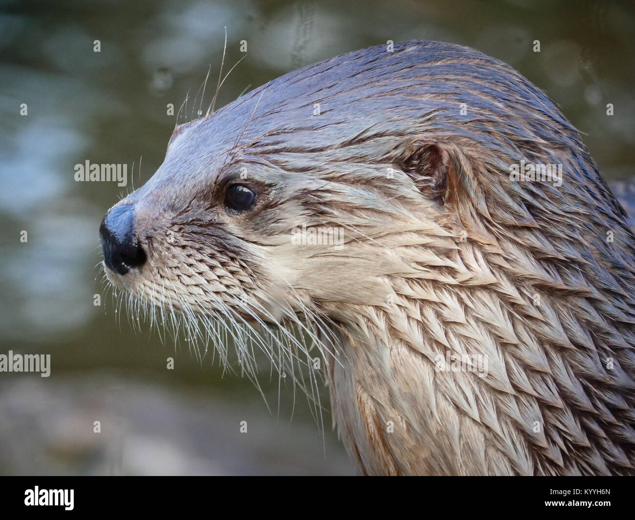 Head and shoulders portrait of a North American river otter Lontra canadensis  - captive animal at Slimbridge in Stock Photo