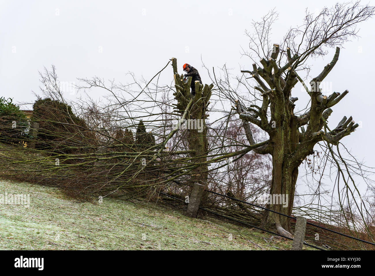 Morrum, Sweden - January 8, 2018: Documentary of everyday life and environment. Arborist high up in a tree on a - Stock Image