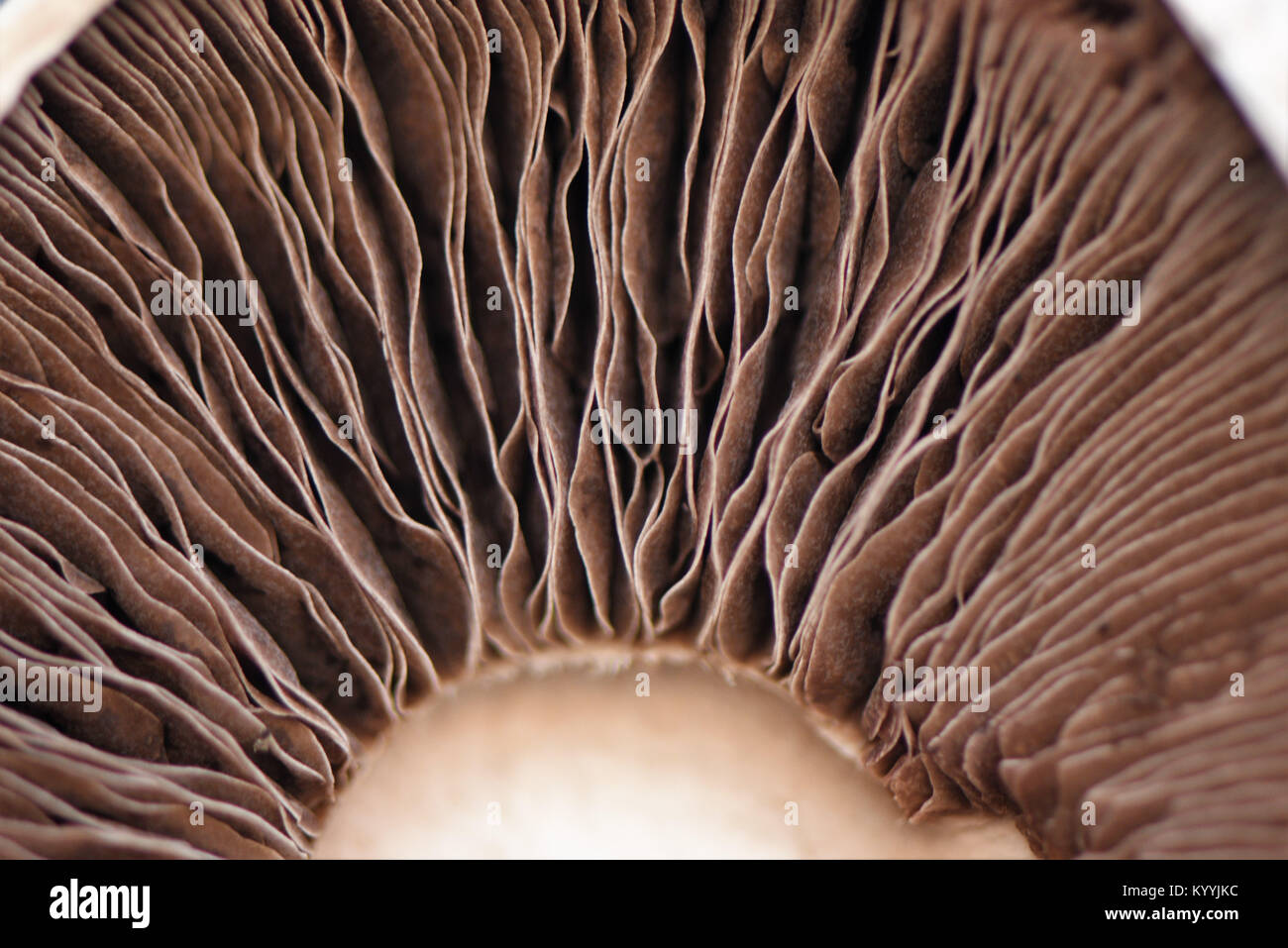 macro close up food photography image of a mushroom on the inside or underside with the brown and cream stripe gill - Stock Image