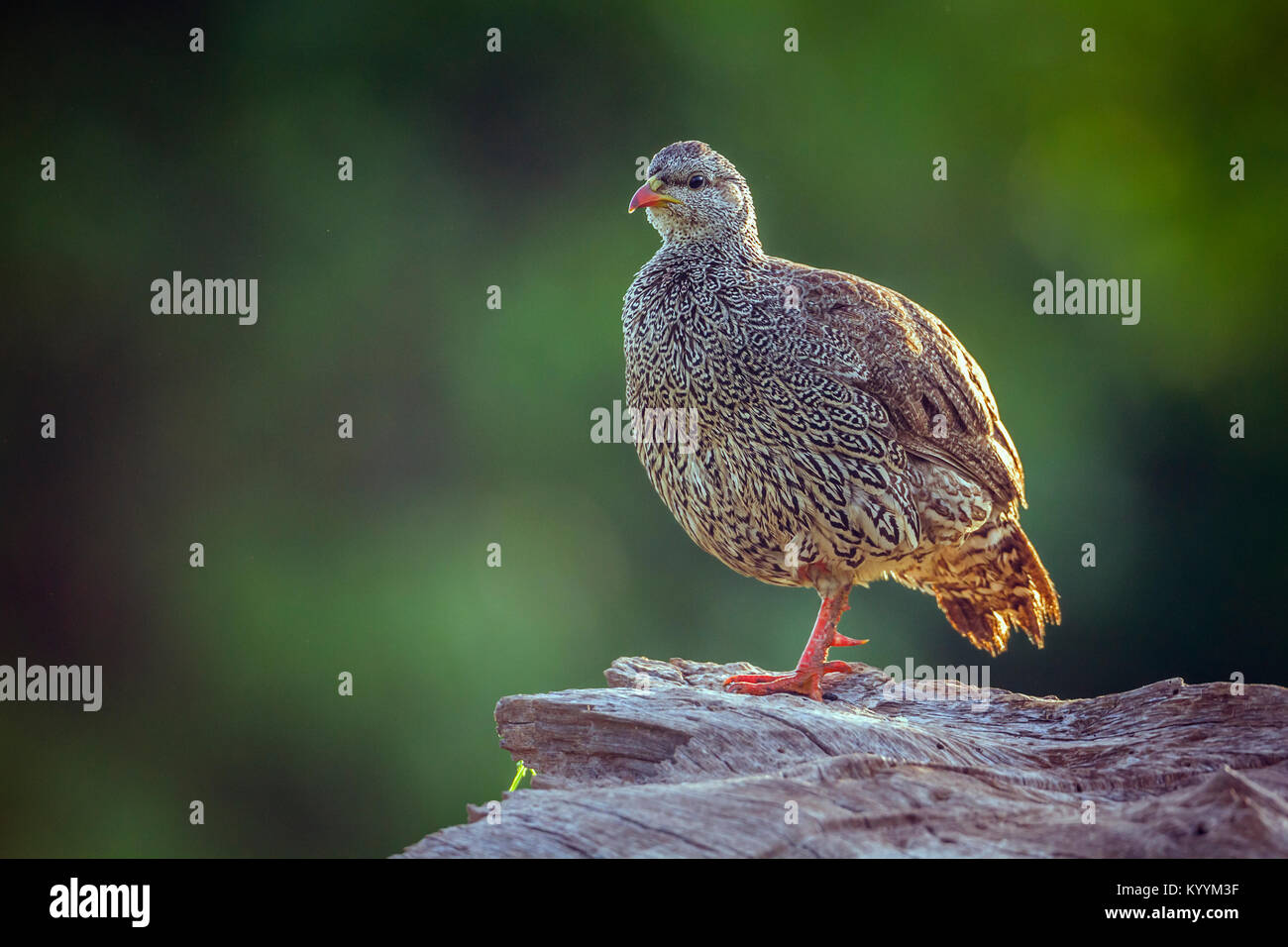 Natal francolin in Mapunguwe national park, South Africa ; Specie Pternistis natalensis family of Phasianidae - Stock Image
