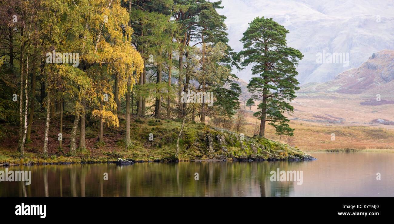 Early autumn colour, on a calm misty morning, in the trees along the shore of Blea Tarn, Lake District, United Kingdom - Stock Image