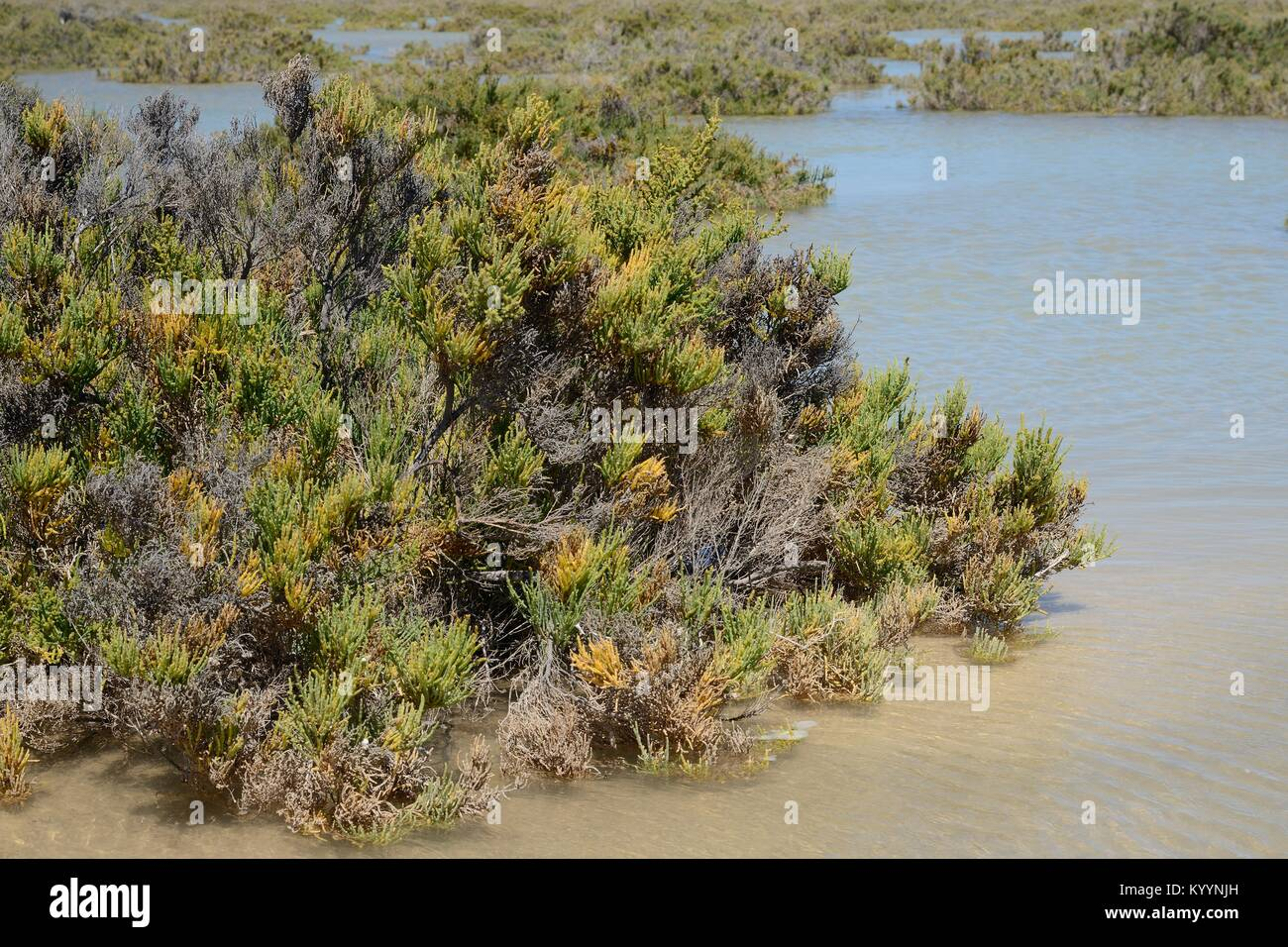 Glaucous glasswort (Arthrocnemum macrostachyum) bushes partly submerged by a high tide in a coastal lagoon, Sotavento, Stock Photo