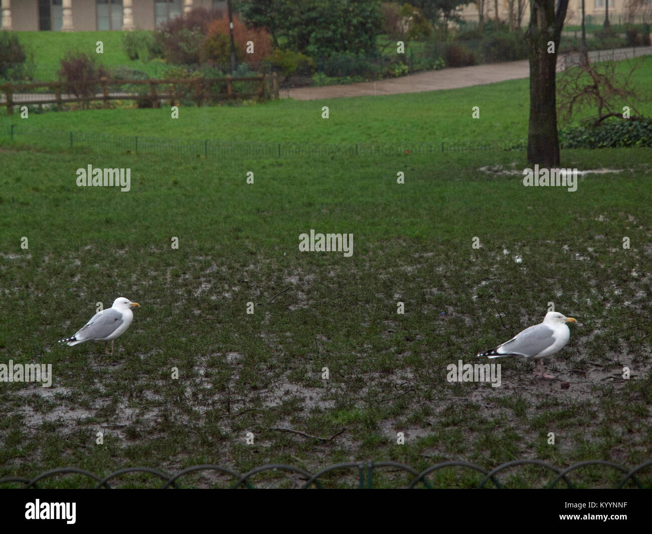 A wet winter's day for two seagulls in Pavilion Gardens, Brighton - Stock Image