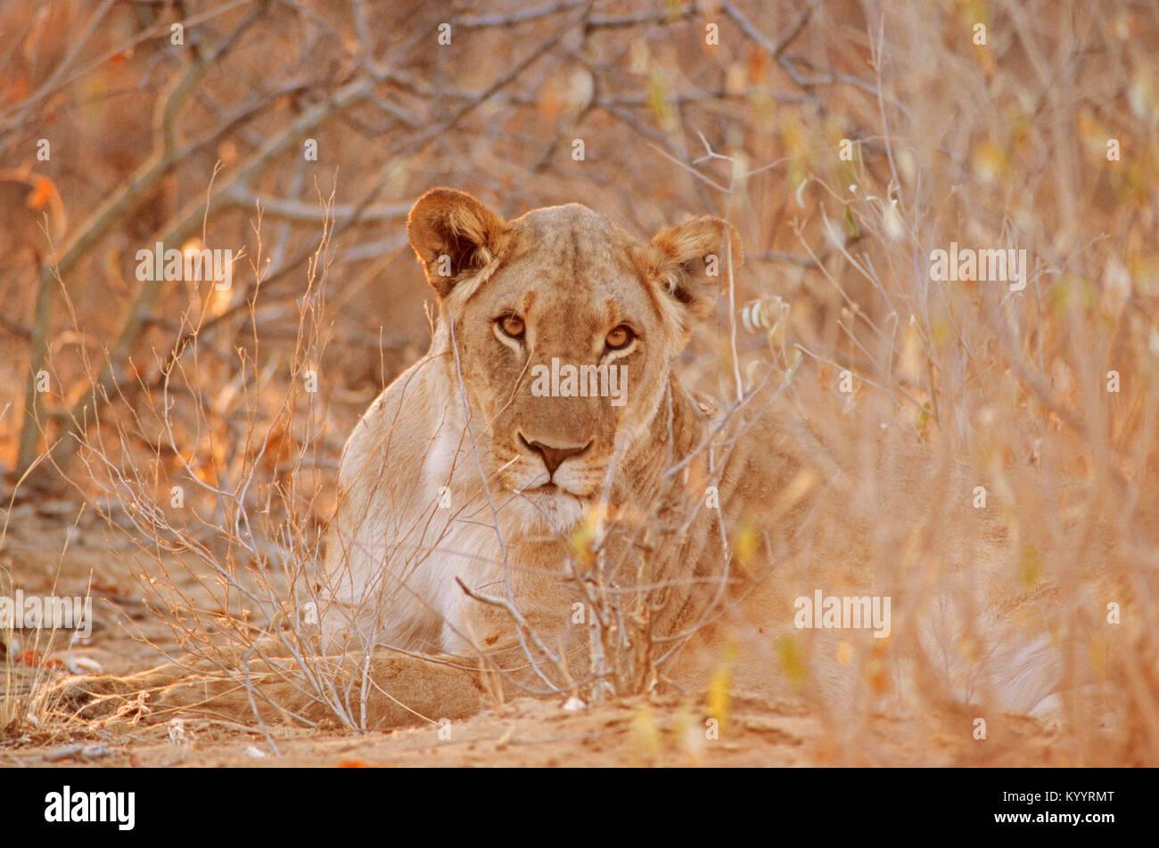 African Lion, female, Etosha national park, Namibia / (Panthera leo) | Afrikanischer Loewe, weiblich, Etosha Nationalpark, - Stock Image