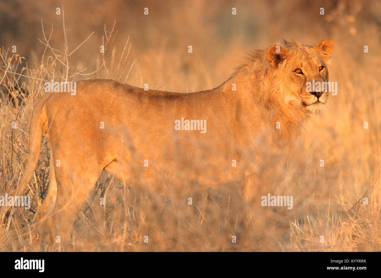African Lion, male, Etosha national park, Namibia / (Panthera leo) | Afrikanischer Loewe, maennlich, Etosha Nationalpark, - Stock Image