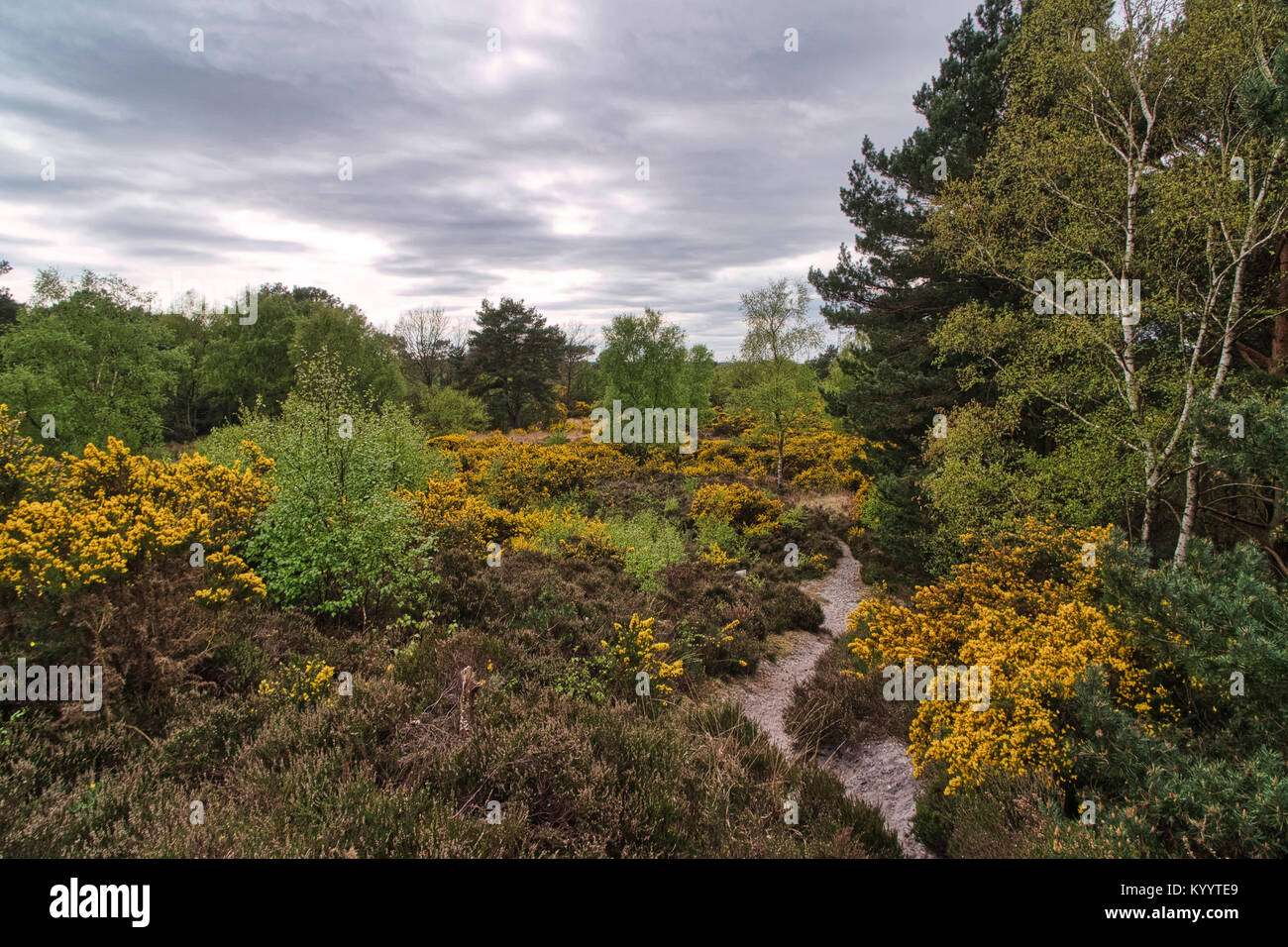 Ferndown Common Nature Reserve. Ferndown Common is a Site of Special Scientific Interest (SSSI) - Stock Image