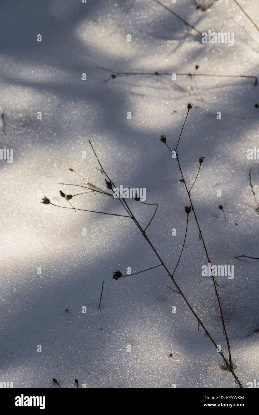 Blades Of Grass In The Snow - Stock Image