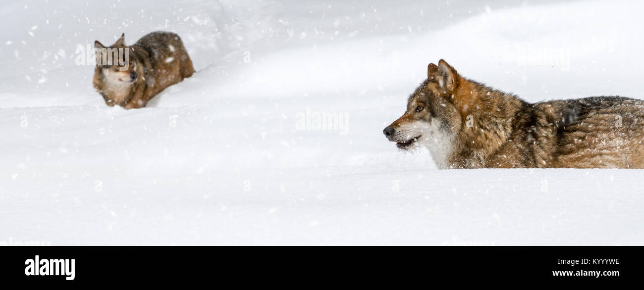 Two gray wolves / grey wolves (Canis lupus) hunting in deep snow while it's snowing in winter - Stock Image