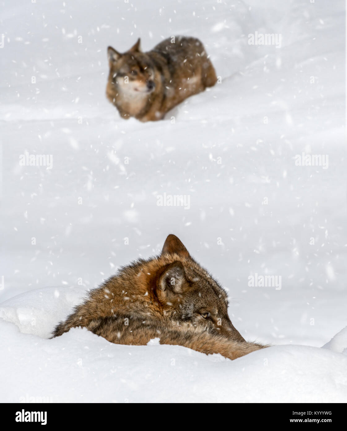 Gray wolf / grey wolf (Canis lupus) resting curled up in the snow in winter while it's snowing - Stock Image