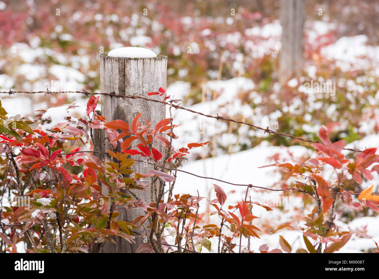 Snow-covered wooden fence post surrounded by red leaves of Oregon Grape Holly - Stock Image
