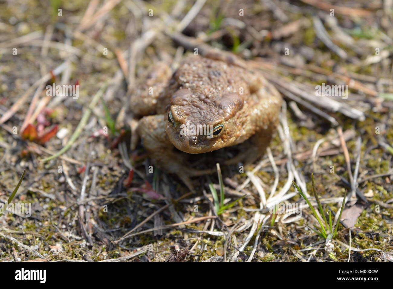 Toad sitting on the ground - Stock Image