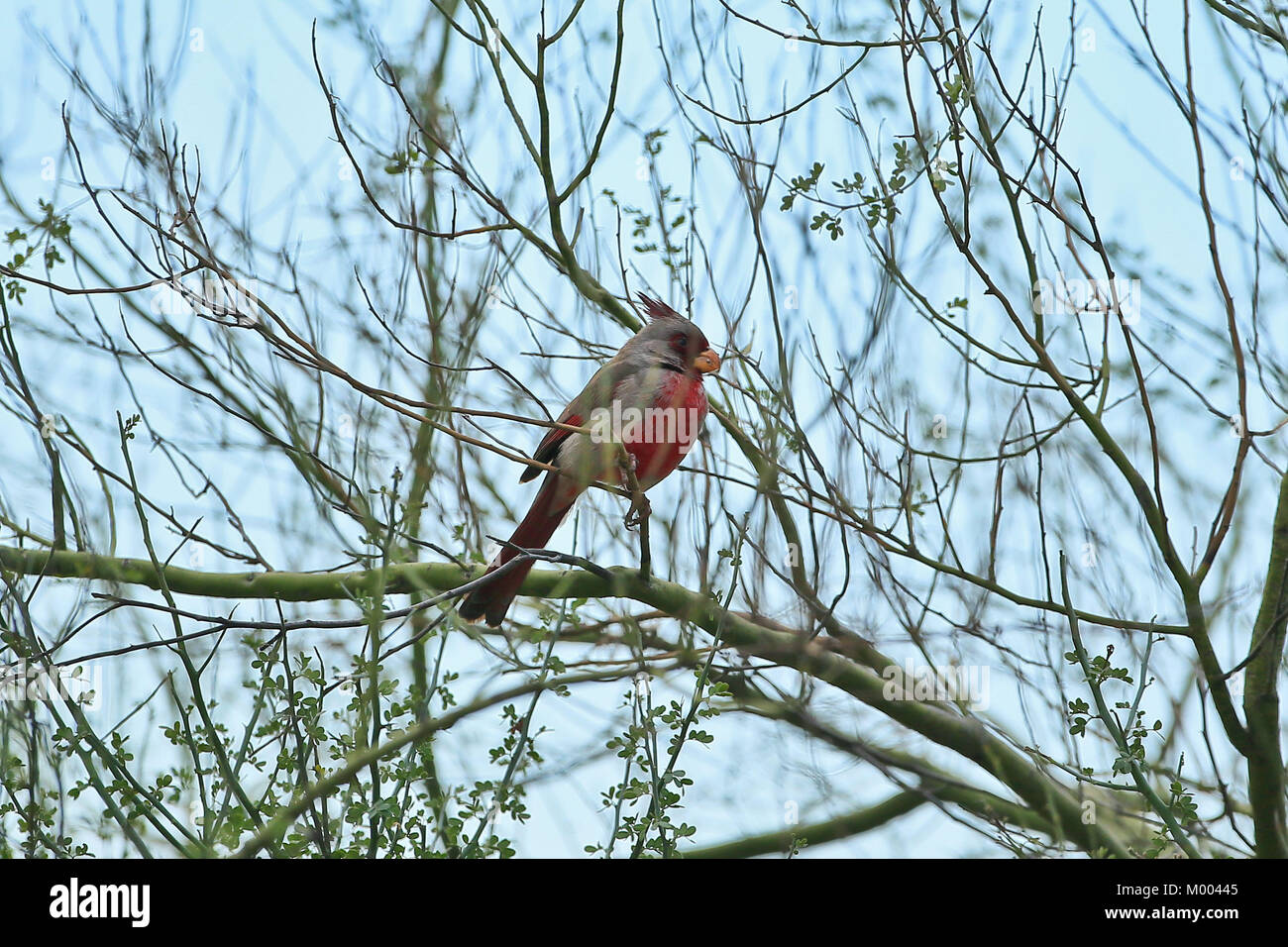cardenal - Stock Image