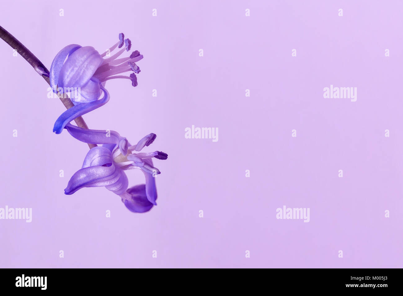 Scilla siberica close-up on light violet background. Delicate primroses. Ultraviolet color of 2018 year for wallpaper, - Stock Image