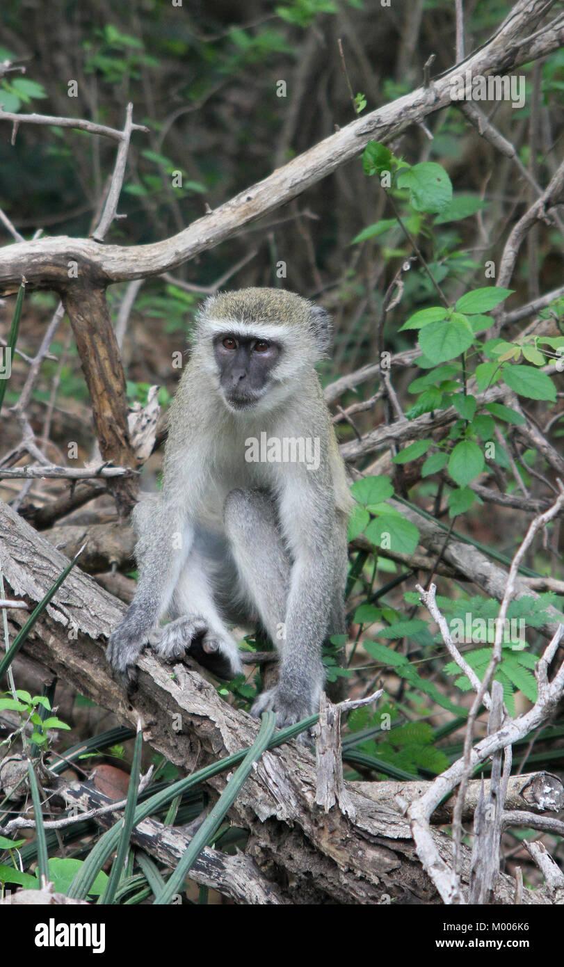Vervet monkey sitting on branch, at Mosi-oa-tunya National Park Victoria Falls, Zimbabwe. - Stock Photo